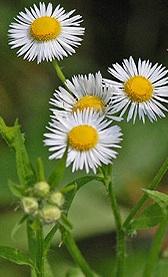 A daisy plant